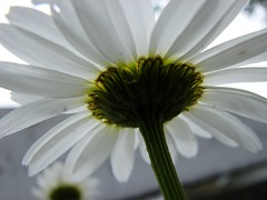 Late summer Shasta daisy (DJHuber) Tags: garden utatafeature