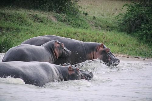 Uganda - QENP Hippo Family