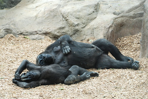 Franklin Park Zoo's Gorilla Family
