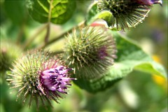 DSC06407 (jacksonpar) Tags: plant ontario macro green outdoor f828
