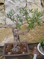 20070817 - Friday Olive Tree Blogging