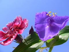 Red and Blue (Luigi Strano) Tags: flowers flores nature fleurs flor blossoms blumen blooms fiori blommor bungabunga maua bloemen blomster bulaklak hoa flors iekler  flori  kvtiny  geles lule virgok blom kukat fior cvijee lilled blomme viragok   ziedi   kbetki kuety