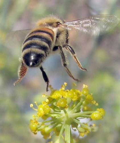 Bee's behind