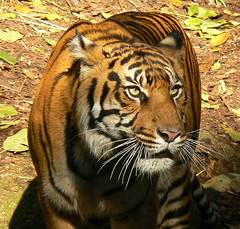 Binjai - Eyes Full Of Menace! (ianmichaelthomas) Tags: friends tiger tigers melbournezoo sumatrantiger bigcats smorgasbord royalmelbournezoo endangeredanimals sumatrantigers animaladdiction goldenmix avisittothezoo animalcraze worldofanimals auselite naturewatcher wonderfulworldmix parkvillevictoriaaustralia sumatranwildlife theperfectphotographer itsazoooutthere flickrlovers vosplusbellesphotos flickrbigcats wildcatworld flickrsbestcreatures