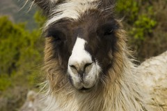 Machu Picchu: La llama que llama