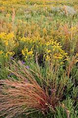 (baldwinm16) Tags: sunset nature illinois forrest grasses wildflowers prairie preserve springbrook springbrookprairie