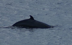 DSC02106 Minke whale BSM