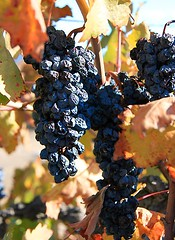 Winkled But Still Beautiful (Marcie Gonzalez) Tags: california blue autumn winter red orange plants plant green fall nature colors fruits up leaves yellow closeup fruit canon botanical photography gold golden leaf vineyard vines soft close riverside wine country grow blues vine dry winery southern vineyards greens empire round grapes hanging growing oranges gonzalez yellows reds corp inland temecula hang wrinkle grape marcie grapevine drying wines wrinkled wineries grapevines purples pruple temeculagrapes marciegonzalez marciegonzalezphotography