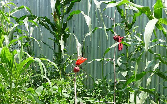 Des fétiches dans un champ de maïs à Kinshasa