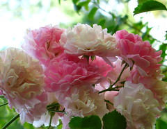 IMG_1563 (redagainPatti) Tags: flowers roses mississippi photo earlymorning master starkville wildrose sevensisters climbingroses masterphotos redagain redagainpatti