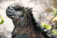 Mr iguana (Ingiro) Tags: southamerica america islands ecuador marine mare south darwin galapagos iguana islas sud ingiro isole americadelsur americadelsud