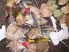 Oriolus oriolus ♀ (Merintia) Tags: golden feathers identification plumes oriole plumas oriolus oropéndola vogelfedern