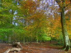 The Enchanted Forest in Ashridge, Herts.UK (jjamv) Tags: uk autumn trees england mountain fall nature alberi landscape woods woodlands path natura 100views 400views 300views 200views 500views sentiero 800views 600views 700views ashridge bosco naturesfinest 30faves sentieri 10faves 20faves 40faves 100comments 200comments 400comments 300comments 100commentgroup jjamv juliusvloothuis