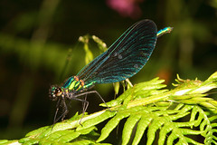 """Male Beautiful Demoiselle Damselfly ((1) • <a style=""""font-size:0.8em;"""" href=""""http://www.flickr.com/photos/57024565@N00/548235721/"""" target=""""_blank"""">View on Flickr</a>"""