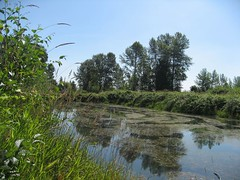 Summertime (peggyhr) Tags: blue trees white canada clouds reflections pond bc patterns grasses algae sku peggyhr