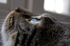 Cat's eye (Shemer) Tags: reflection eye cat fur furry dof lautrec