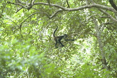 Spider Monkey in Tikal