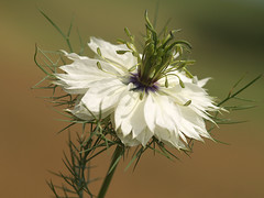 Nigella damascena (gripspix (OFF)) Tags: white flower green nature loveinamist naturesfinest nigelladamascena