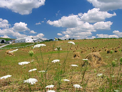 When the Sun Shines (CountryDreaming) Tags: flowers ohio summer sky flower field clouds barn farm farming barns sunny amish haystacks haystack fields farms wildflowers hay agriculture wildflower queenanneslace amishcountry blueribbonwinner outstandingshots specland mywinners anawesomeshot