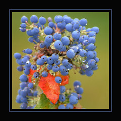 Blue berries (regina_austria) Tags: blue nature catchycolors bravo berries searchthebest oneofakind vivid blau beeren shiningstar dimensions goldenegg aphoto aclass themoulinrouge naturesfinest whatawonderfulworld blueribbonwinner amazingnature supershot instantfave beautyisintheeyeofthebeholder theworldthroughmyeyes flickrnature flickrspecial beautifulcapture allthingsbeautifulinnature flickrsmileys mywinners flickrgold worldbest colorphotoaward aplusphoto ourwonderfulworld flickrhearts faithfulflickrfriends explorethis goldenphotographer onenesslabyrinth diamondclassphotographer theothervillage photosandcalendar amateurshighfive tornadoaward globalvillage2 farandawaythebest fun2frame exemplaryshots flickrphotoawardgroup onlythebestare ultimategold photostosmileabout eperkeaward flickrsun reginaaustria onlynatureaward colourartaward colourartawards flickrsheaven flickrextraordinarycapture theworldsbestnaturewildlifeandmacrophotography macomacromacro flickrslegend thegoldendreams