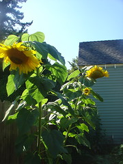 Sunflowers waning