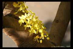 Flower and Tree (raku_in) Tags: flower tree yellowflower kanikonna