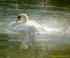Come On in the water's fine (Roger's Photos59) Tags: nature birds cornwall wildlife swans fowlfeatheredfriends aplusphoto ilovemypic theunforgettablepictures goldstaraward rogersphotos59