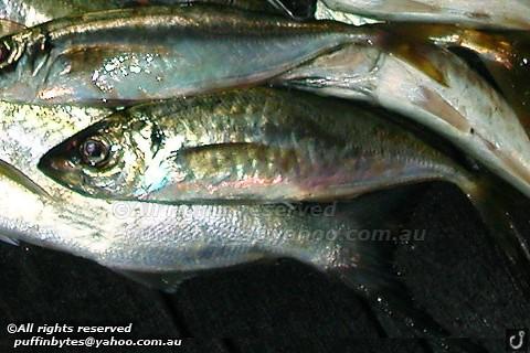 Yellowtail Horse Mackerel - Trachurus novaezelandiae
