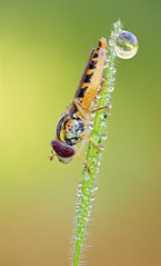 Female Sphaerophoria (johnhallmen) Tags: macro insect tripod naturallight portfolio nrm hoverfly syrphidae diptera nikonpb6bellows canon5dmkii zerenestacker schneiderkreuznachapocomponon90mmf45hm