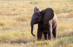 wide awake and ready to rumble! ('Carmen' {catching up!}) Tags: africa elephant mammal dof play kenya bokeh compassion depthoffield safari africanelephant amboseli gamedrive elephantfamily babyelephant fullofbeans largestlandmammal powerandgrace