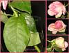 Rose pink (Saffo0o) Tags: pink flower green rose وردة زهرة ورقة وردي اخضر فوشي