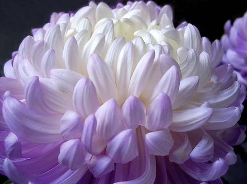 Soft purple by Graça Vargas´s flowers.