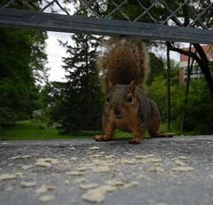 Squirrelly Blur (O Caritas) Tags: food blur cute animal campus movement blurry squirrel footbridge michiganstateuniversity michigan critter msu eastlansing crumbs crackers nikond200 dsc0012 sigma1020mm4056ex