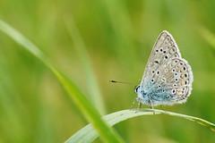 papillon (Haentjens Raphal - Macropixels)