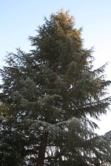 A White Christmas (Tree) (Debby Champion) Tags: africa winter snow cold ice southafrica wintermorning jhb westrand