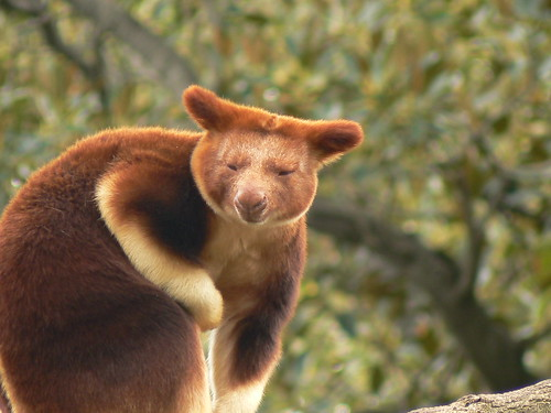What a handsome face! Goodfellow's Tree Kangaroo