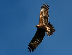 Wedge tailed eagle (yarren2) Tags: bird eagle birdofprey wedgetailedeagle naturesfinest wildlifeofaustralia
