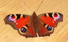 "Peacock Butterfly (inachis io)(16) • <a style=""font-size:0.8em;"" href=""http://www.flickr.com/photos/57024565@N00/973034177/"" target=""_blank"">View on Flickr</a>"