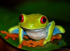 Red-eyed Tree Frog at Tortuguero, Costa Rica (tgduarte) Tags: color colour nature rainforest costarica wildlife frog tropical soe treefrog tortuguero outpost agalychniscallidryas redeyedtreefrog potofgold naturesfinest flickrsbest tortugueronationalpark nikond80 goldstaraward