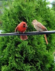 Cardinal couple - by Martin Ujlaki