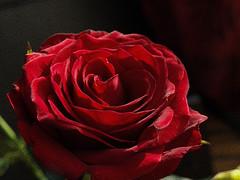 La Vie En Rose (j.anne4 ( Janne )) Tags: red rose roos lill lilled flowerotica olympuse400 masterphotos punane welcometoestonia superaplus aplusphoto infinestyle janne4janne