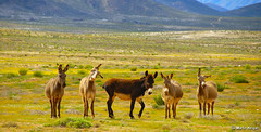 Wild Donkeys of the Richtersveld - by Martin_Heigan
