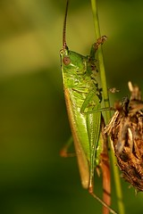 Conocephalus discolor (Walwyn) Tags: insect cricket orthoptera warwickshire conehead walwyn conocephalusdiscolor draycotemeadows profmoriartydotcom:book=4057