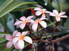 Frangipani Flowers (khairul_kg) Tags: anuar abdullah khairul