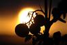 Tomatoes at sunset (SvendO) Tags: sunset oslo norway norge tomatoes norwegen noruega solnedgang svend kvilesjø tomat tomater toppåsen
