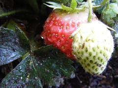 Strawberry (Energetic Spirit) Tags: plants sun plant macro water up leaves rain closeup fruit oregon james leaf drops strawberry close bend or nick drop nicholas ups dew finepix raindrops fujifilm dewey macros perla closeups raindrop rains s700 s5700