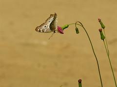 i wouldn't say no (zenog) Tags: butterfly papillon borboleta jardimbotanico mariposa farfalla schmetterling vlinder