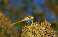 """Common Darter Dragonfly (Sympetrum s(56) • <a style=""""font-size:0.8em;"""" href=""""http://www.flickr.com/photos/57024565@N00/1343369660/"""" target=""""_blank"""">View on Flickr</a>"""