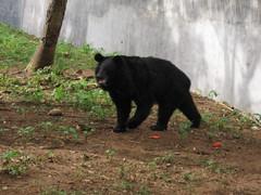 Sri Chamarajendra Zoological Gardens (dciandy) Tags: bear india zoo mysore mysorezoo srichamarajendrazoologicalgardens