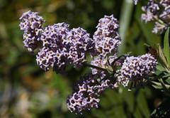 Buddleja sp. (petrichor) Tags: australia nsw scrophulariaceae tarongazoo buddleja september2007 davidjmidgley